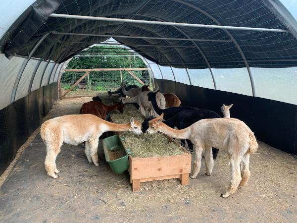 alpaca che mangiano
