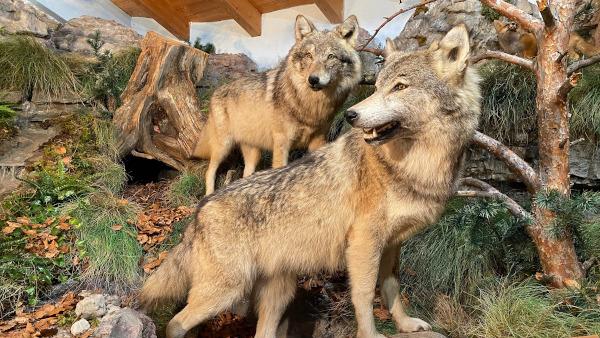 lupi nel loro habitat