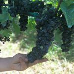 mano bimbo con grappolo d'uva