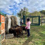bambina che guarda pecore nana mangiare il fieno
