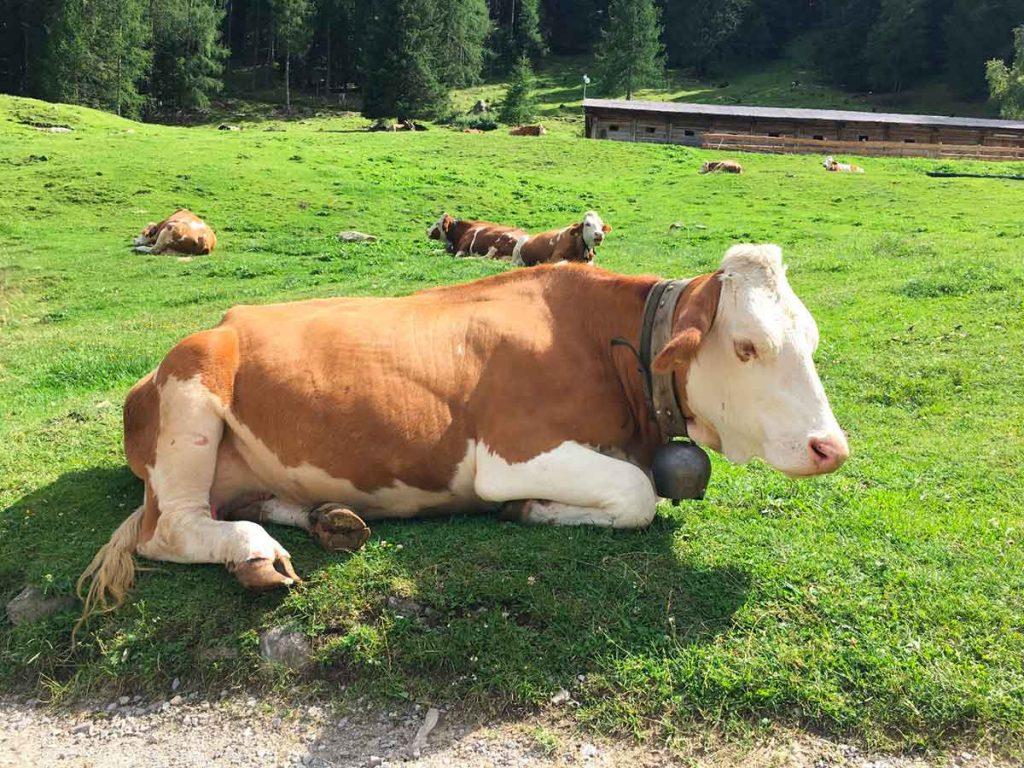 Adotta una mucca in Valsugana e sostieni le malghe