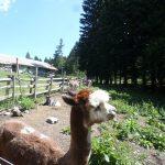 alpaca nel recinto